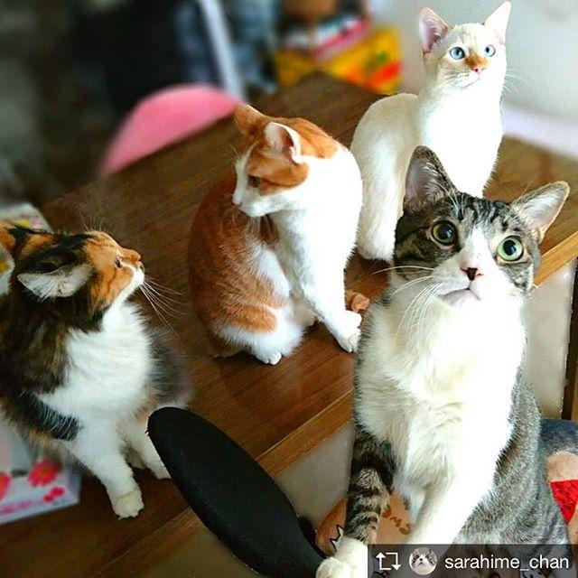 Repost from @sarahime_chan @TopRankRepost #TopRankRepost この子達はみんな、私が保護して育てた子達オモチャで遊ぶ気満々な弟(虎太朗&獅子丸) #猫好き#猫好きさんと繋がりたい#猫好きな人と繋がりたい#ねこすたぐらむ#にゃんすたぐらむ#cats#ねこ部#保護猫#保護猫出身
