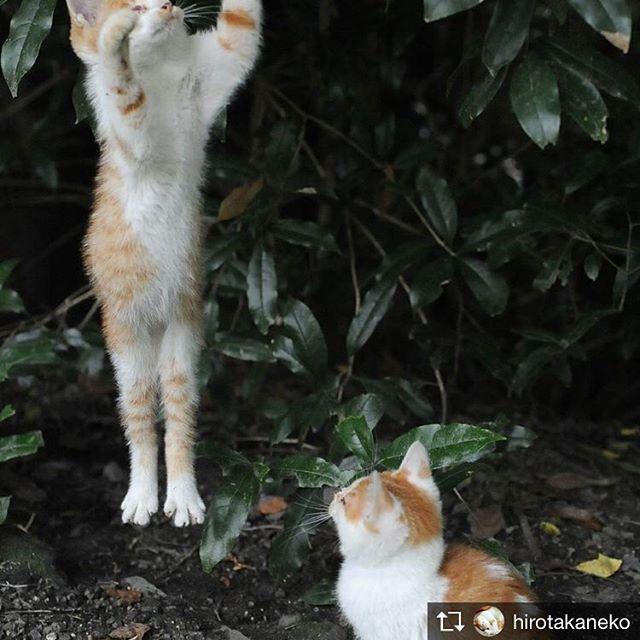 Repost from @hirotakaneko @TopRankRepost #TopRankRepost 空を飛ぶから「そら」#子猫#子猫ジャンプ#こねこ#こにゃんこ#猫#猫部#猫すたぐらむ#ねこ#ねこ部#ねこすたぐらむ#にゃんこ#にゃんこ部#にゃんすたぐらむ#京都猫#かわいい猫#東京カメラ部#nekoくらぶ#cats_of_instagram#catphoto#catstagram#catstagramcat#catsofinstagram#catstagram_japan#cutecats#cats#cat#babycats#kittybabycat#kittycat 猫じゃらしで遊んでやるととにかくよくジャンプする子猫だったので「そら」と安直に名付けました笑