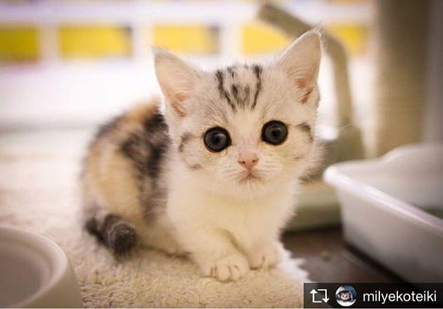 Repost from @milyekoteiki @TopRankRepost #TopRankRepost Большеглазое чудо#милыйкотейка #большиеглаза #котенок #милыйкотенок #kitten #littlekitten #vcsoua #l4l #котик #милота #instacat #catinstagram #cat #catsofinstagram