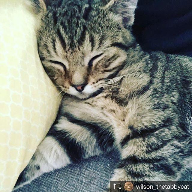 Repost from @wilson_thetabbycat @TopRankRepost #TopRankRepost Goodnight! 🌚 #catsofinstagram #catlife #catlife #catnap