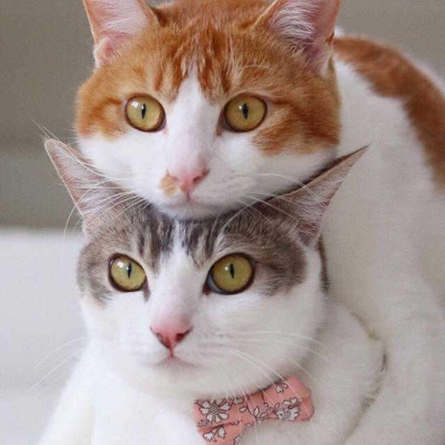 Repost from @riepoyonn @TopRankRepost #TopRankRepost Canele fit perfectlyHappy Wednesday my friends ..カヌ『ぼくたちってジャストフィットだよね』アメ『ちょっと重いけどね…🙄』..ピンぼけだけど2人のむぎゅむぎゅ感が可愛くってやっぱりカヌレの方がお顔まんまる!今日も双子たちとそらは、とってもにゃかよしです..静岡パルコで開催中の #ねこ休み展 は今週末までです.#そら #アメリ( #パステル三毛 )#カヌレ ( #茶しろ) #双子 #twins #保護猫  #みかんが幸せでありますように
