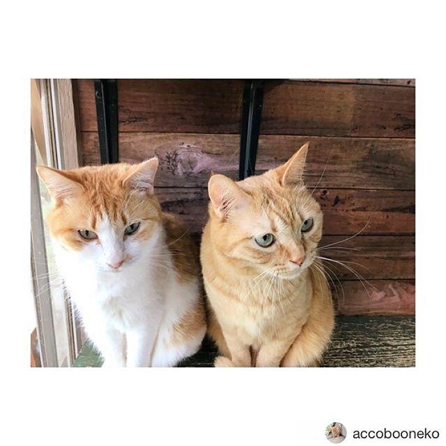 Repost from @accobooneko @TopRankRepost #TopRankRepost こっち見てくれない…*#猫 #ねこ好き #ねこばか #ねこバカ #みけねこ #ねこらぶ #ネコ #みけねこ #みけねこ #猫のいる生活 #猫との暮らし #やっぱり猫が好き #猫好きな人とつながりたい #cat #instacat #catstagram #ilovemycat #instagramcats #meow #pet #petstagram #cutepets #茶白組 #茶白猫 #黒猫 #三毛猫 #茶トラ猫 #白茶猫