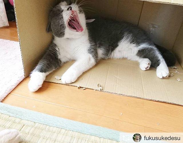 Repost from @fukusukedesu @TopRankRepost #TopRankRepost ラムちゃんは良くあくびをしますまるでケルベロス.#ブリティッシュショートヘア#britishshorthair#散歩猫 #散歩ねこ#ブリ商会#猫#ねこ#はちわれ#cat#子猫#kitty#あくび#ねこ部 #ねこすたぐらむ #ねこ好き #ねこばか #ねこバカ#pet #catlover #catstagram #cats#にゃんこlove #猫好きな人と繋がりたい
