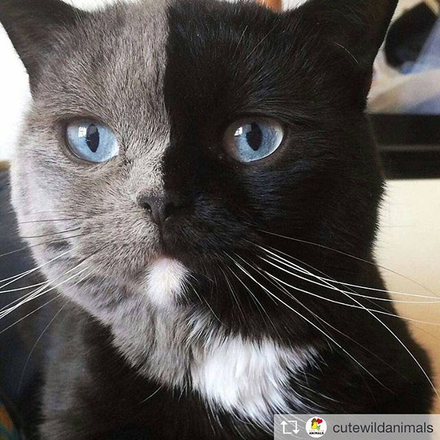 Repost from @cutewildanimals @TopRankRepost #TopRankRepost Two faced cat! ️ Tag your friends! .By @amazingnarnia